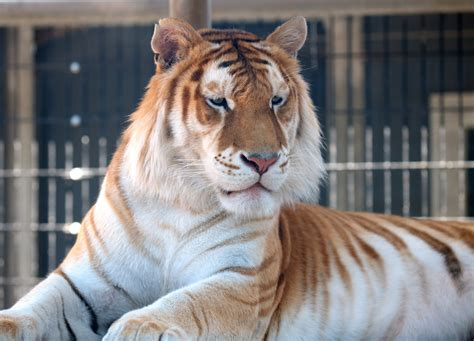 This Pet Tiger His Name Lion