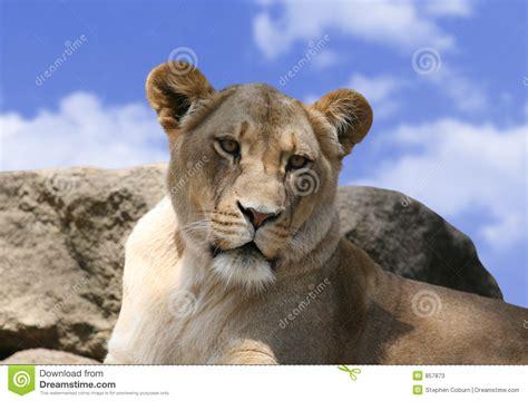 Lioness Stock Image. Image Of Outdoor, Mammal, Savannah