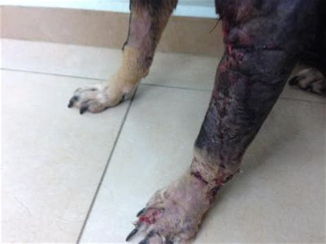 dog leg trauma lung tumor enlarged spleen organic pet