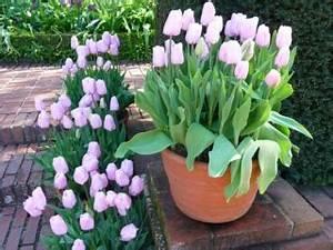 Planter Des Bulbes : planter des tulipes quand comment dans quel sol ~ Dallasstarsshop.com Idées de Décoration