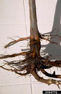 Phytophthora Root And Crown Rots  Phytophthora Spp    On Apple  Malus Domestica