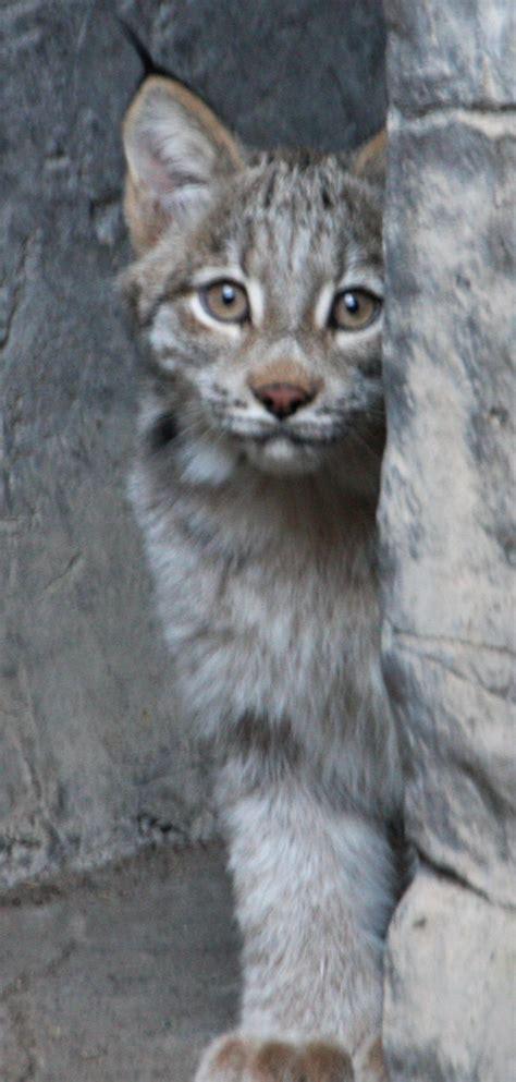 minnesota lynx kittens canada zoo zooborns debut born