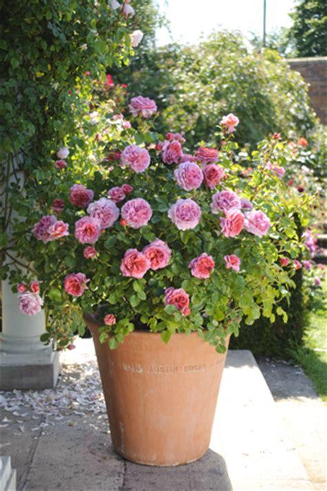 la des rosiers 224 la p 233 pini 232 re fil roses avril 2015