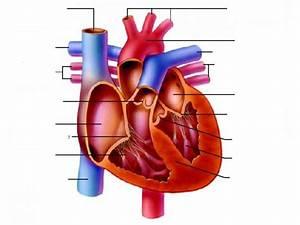 The Heart Diagram Unlabeled | Anatomy | Pinterest | Heart ...