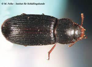 Kleine Schwarze Käfer Im Keller : schwarzer getreidenager tenebroides mauritanicus ~ Lizthompson.info Haus und Dekorationen