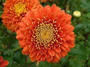 Dendranthema Hybride Balkon : chrysanthemum facts and health benefits ~ Lizthompson.info Haus und Dekorationen