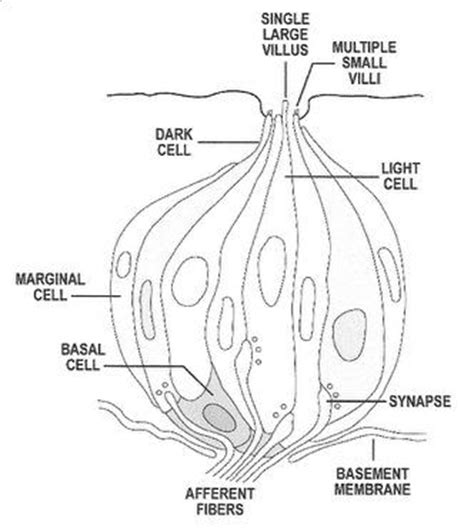 diagram of a taste bud ear diagram to label ear diagram label print out  wiring � ��