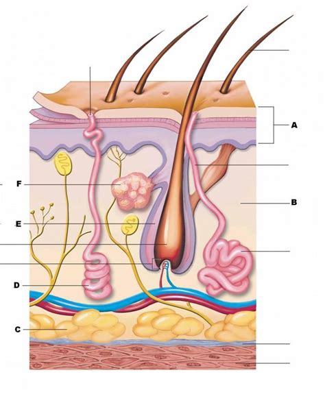 skin diagram at tusky valley high studyblue