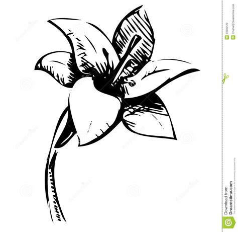lily flower sketch illustration stock photography image