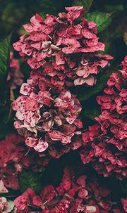 Download wallpaper 2160x3840 hydrangea, pink, flowers ...