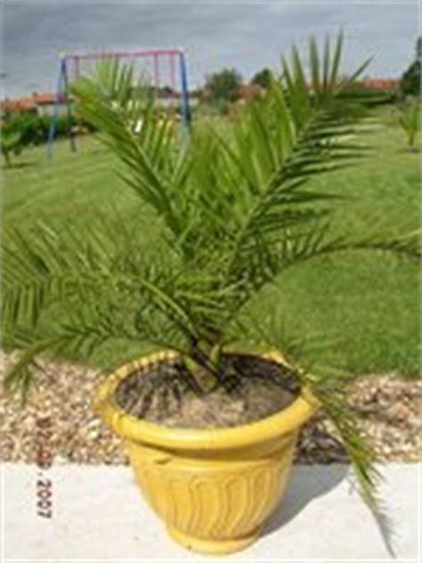 palmier canariensis en pot canariensis en pot mon jardin et palmiers sept2007 les galeries photo de plantes de