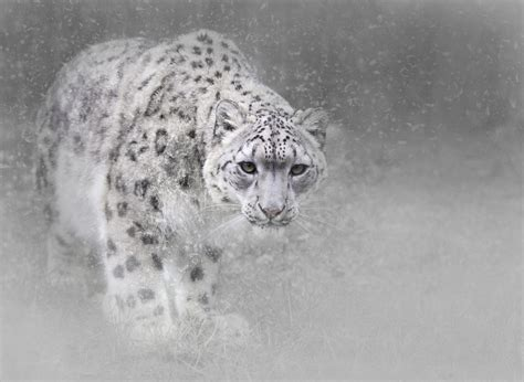 Snow Animal Wallpaper - snow leopard hd wallpaper and background 2048x1497