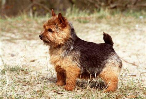 Pasaules gudrāko suņu šķirņu TOPs. [3.daļa] - Spoki - bildes 2