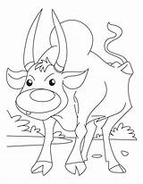 Ox Musk Template Coloring Oxen Sheet Arctic Templates sketch template