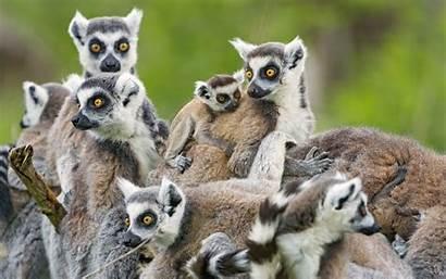 Lemur Desktop Animals Wallpapers Computer