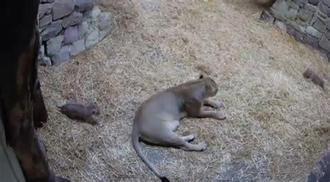 lion cub scares mom  hilarious video