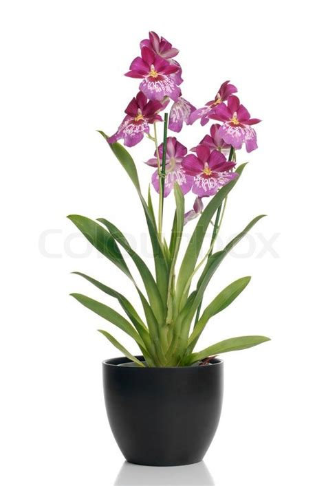 pink orchid   pot  white background  shadow