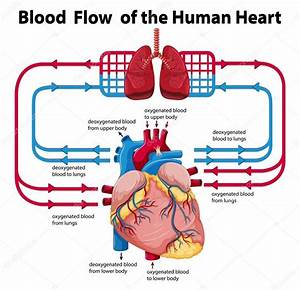 Heart Flow Diagrams