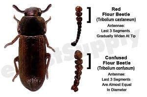 red confused flour beetles metro king pest control