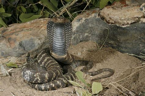 zebra spitting cobra facts  pictures reptile fact