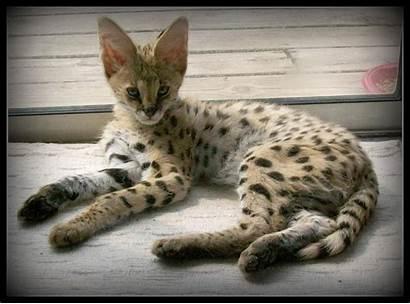 Cat Savannah Cats Breeds Domestic Breed Fat