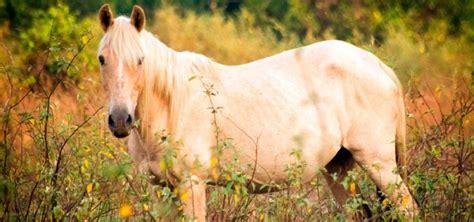 caballo criollo caracteristicas   donde vive