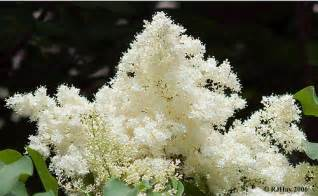 Japanese White Lilac