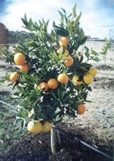 fruit salad tree california pin fruit salad tree review inikah next gambarspyshot hari on pinterest