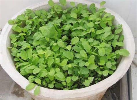 cuisiner des feuilles de blettes les 20 légumes les plus faciles à faire pousser en pot
