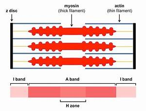 Labeled Sarcomere Diagram