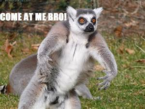 Lemur Memes | T... Cute Lemur Quotes