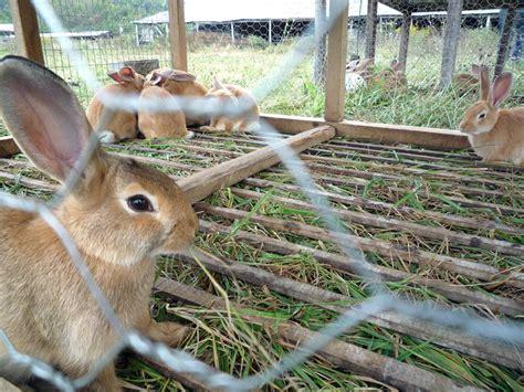 gabbie per conigli da carne consigli su come allevare conigli da carne lettera43 it