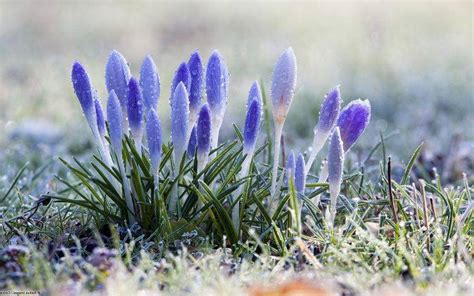 flowers snow crocuses dew nature frost wallpapers hd