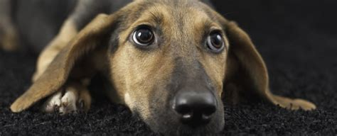 heres  simple science    dogs  floppy ears
