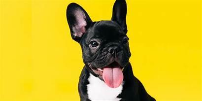Dog Breeds Cutest Dogs Breed French Bulldog