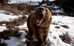 Angry Grizzly Bear Attack