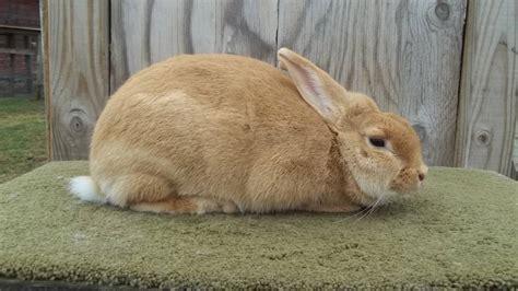 palomino bunnies   britain ct rabbits  sale