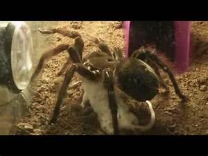 Tarantula (Theraphosa blondi) eating mouse - YouTube
