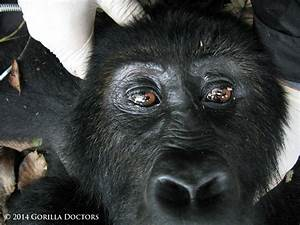 Subadult Grauer's Gorilla 'Busasa' Released from Snare in ...