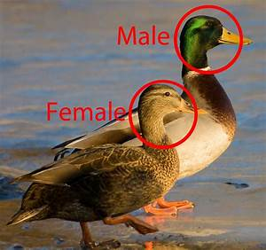 Gallery For > Mallard Duck Male Vs Female