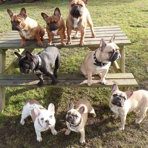 french bulldog images  pinterest french