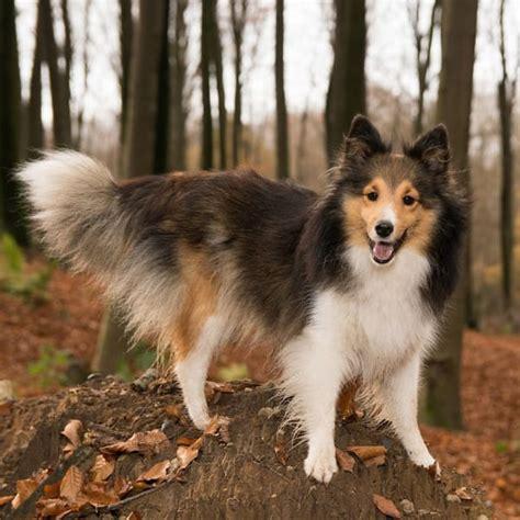smartest breeds smartest dog breeds top 10 list