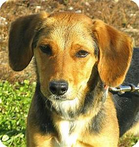 Tansy | Adopted Puppy | Indianapolis, IN | Beagle/Black ...