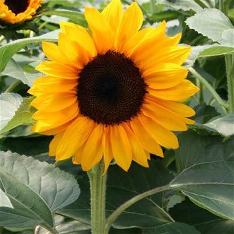 Sunflower Pro Cut Orange F1 – Harris Seeds