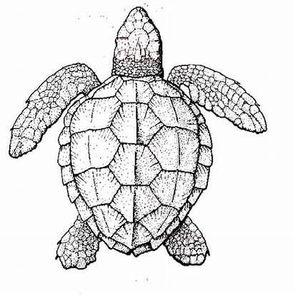 Turtle Coloring Sea Realistic Pages