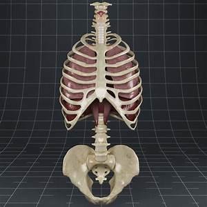 3d Anatomy Lungs Diaphragm Skeleton