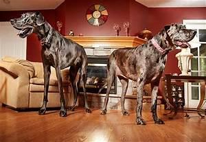 World's tallest female dog Morgan passes away | Guinness ...
