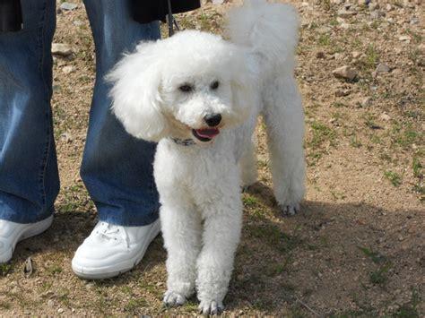 comment faire pour nettoyer les yeux de mon chien forum entretenir chien bichon maltais