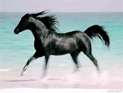 Horse Stallion Arabian Weasley Silence Fred Sound