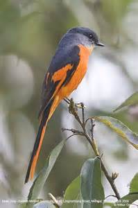 Minivet Bird Species of Vietnam